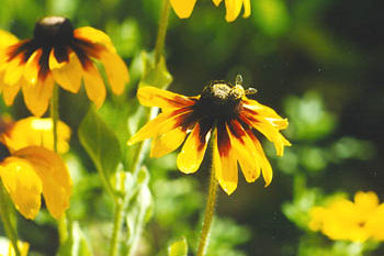 bee on black-eyed susans